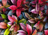 Fototapeta liść - ozdobny - Roślinne