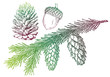fir tree with pine cone, vector
