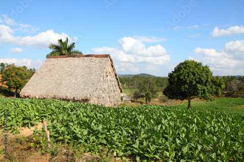 Tobacco plantation in Cuba - Vinales National Park