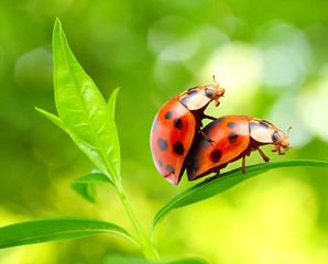 Love-making ladybugs couple on a tea leaf. Love metaphor.