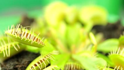 Venus flytrap ( Dionaea muscipula ), carnivorous plant