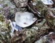 Leinwanddruck Bild - perle d'huître