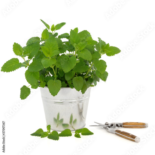 Lemon Balm Herb with Secateurs