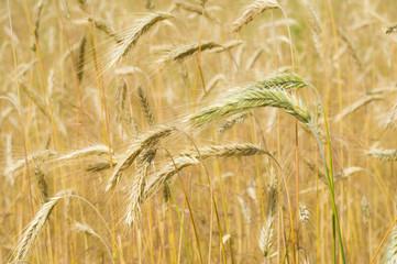 Ears of unripe wheat closeup.