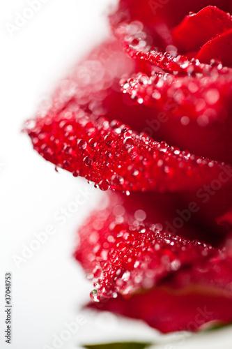 płatki róży © Robert Wołkaniec
