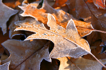 Autumn frozen leaves close up