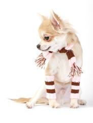 cute chihuahua puppy with striped socks and scarf