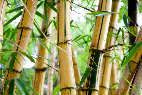 bamboo forest 37052735