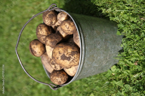 Potatoes in the bucket