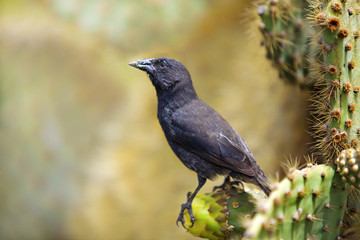 Galapagos Common Cactus Finch
