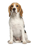 Beagle puppy, 6 months old, sitting in front of white background