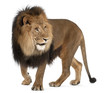 Lion, Panthera leo, 8 years old, standing