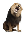 Lion, Panthera leo, 8 years old, roaring