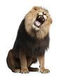Lion, Panthera leo, 8 years old, roaring