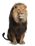 Lion, Panthera leo, 8 years old, sitting
