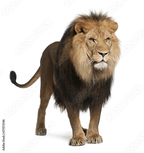 Lion, Panthera leo, 8 years old, standing - 37073546
