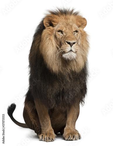 Fototapeten,löwe,sitzend,white background,weiß