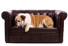 Pies buldog angielski, leżąc na kanapie