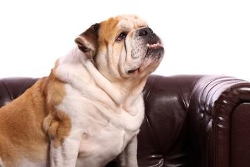 Hund Englische Bulldogge Portrait