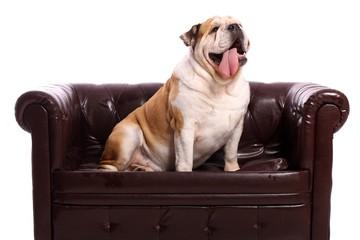 Hund Englische Bulldogge sitzt stolz auf Couch