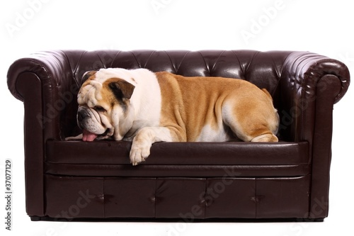 hund englische bulldogge liegend auf sofa stockfotos und. Black Bedroom Furniture Sets. Home Design Ideas