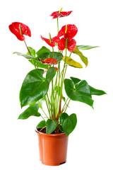 Plant of Anthurium flowers in flowerpot isolated on white