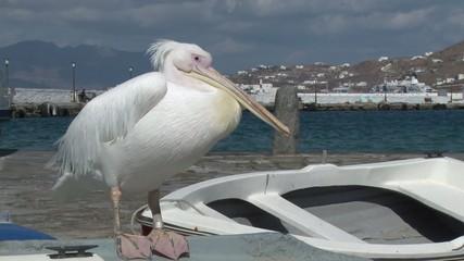 Pelican in Mykonos, Greece