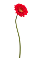 Red gerbera on a bent stem