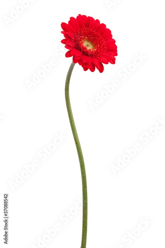 Papiers peints Gerbera Red gerbera on a bent stem