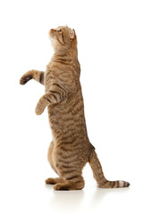 standing Scottish tabby-cat isolated on white