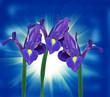 purple iris flower on blue background