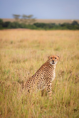 Gepard, Afrika