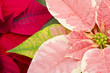 Colorful Poinsettia Closeup