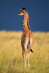Giraffe, Giraffenbaby