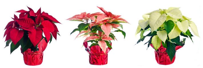 Three Pots of Poinsettia Isolated on White