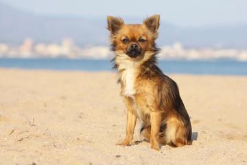 chihuahua assis dans le sable