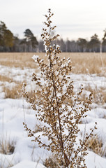 wormwood in the field, slightly with snow