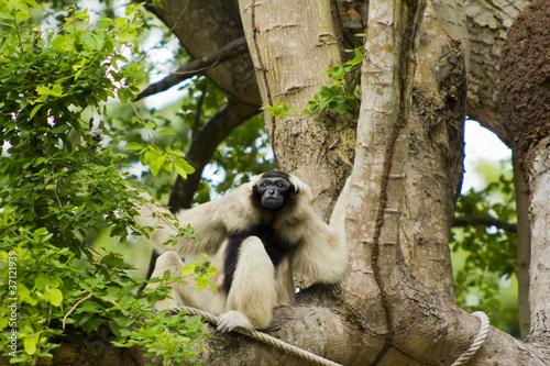 bialy-gibbon-na-drzewie-khao-kheow-otwarty-zoo-tajlandia