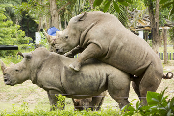 Rhinoceros Mating in Khao Kheow Open Zoo, Chonburi, Thailand
