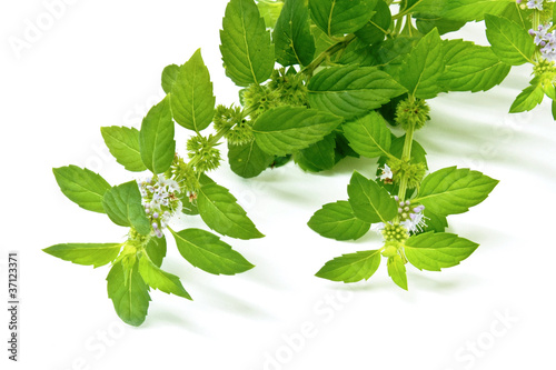 Green mint leaves and flowers