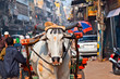 Ox cart transportation on early morning  in Delhi, India