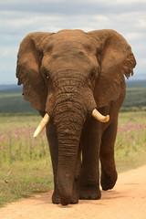 Elfant südafrika addo elephant nationalpark elfenbein