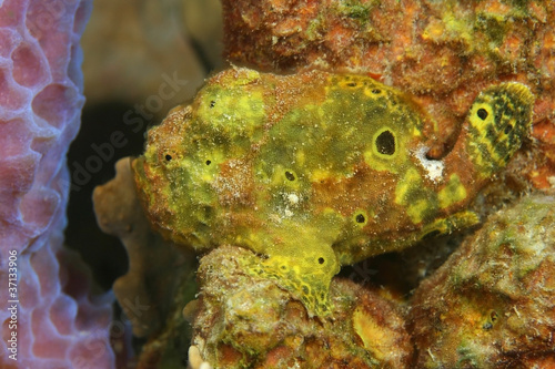 Longlure Frogfish Hiding on a Sponge - Bonaire