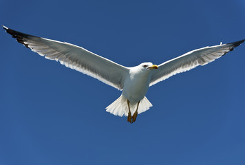 Seagull on Blue Sky Gliding in Win