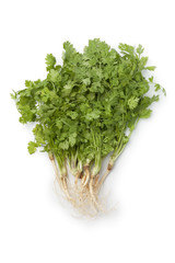 Fresh cilantro with roots