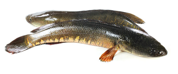 Giant snakehead fish over white background