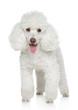White Miniature poodle