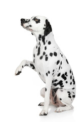 Dalmatian dog gives paw