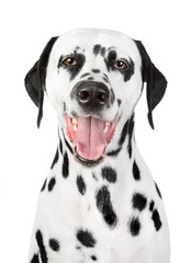 Portrait of a smiling Dalmatian