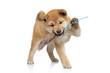 Shiba inu puppy playing
